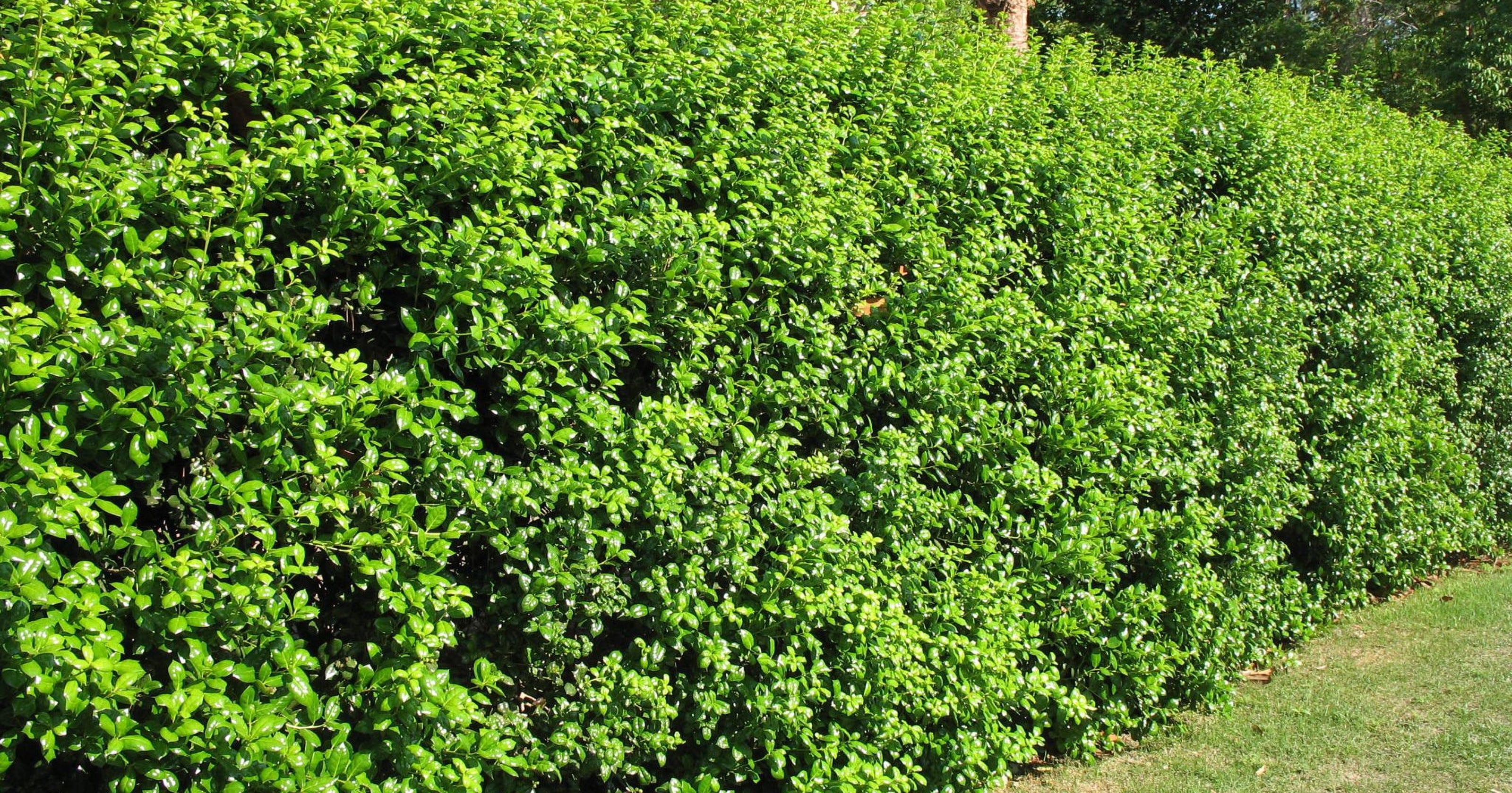 Foto Di Piante Sempreverdi una selezione di piante per le vostre siepi